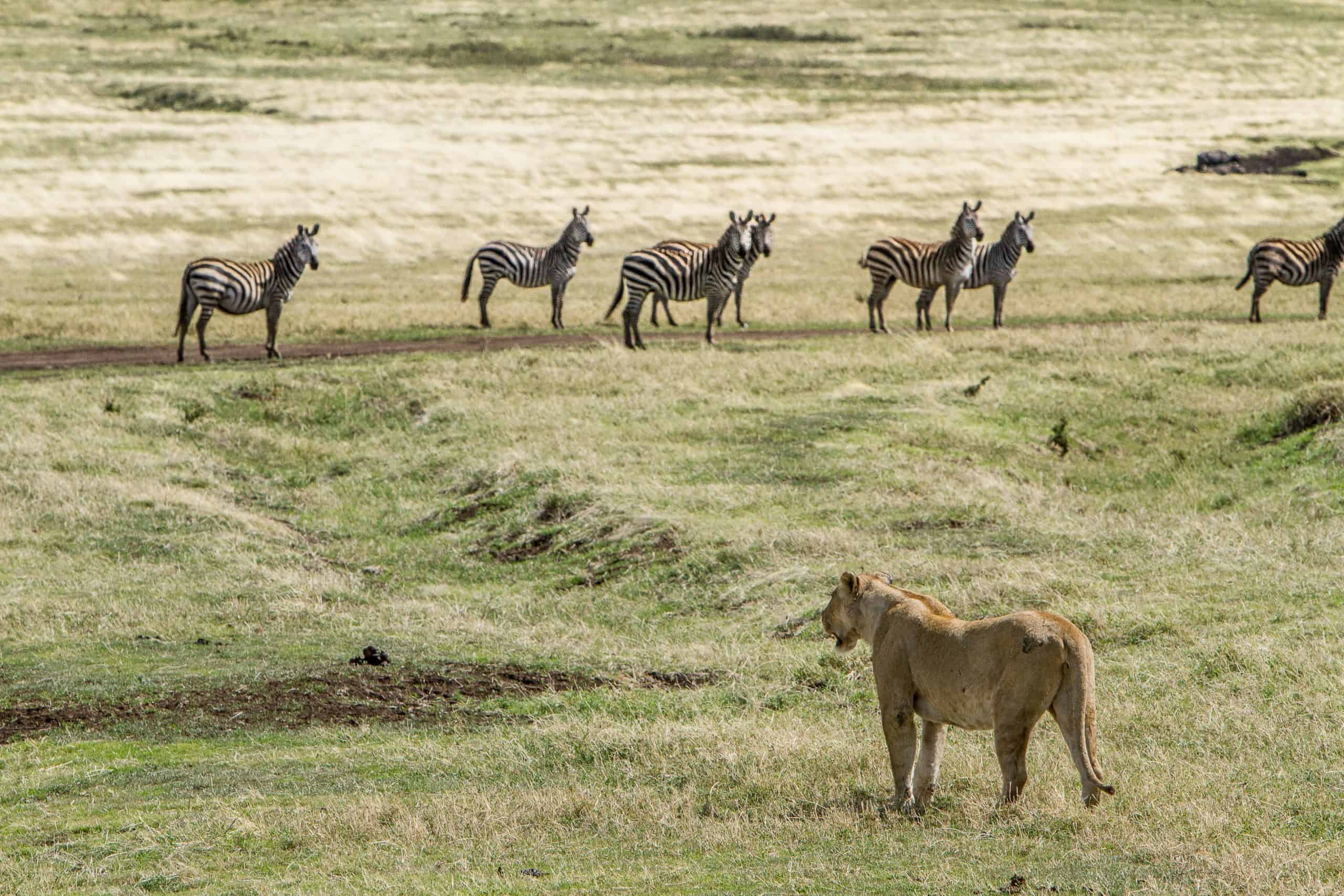 Burigi Chato Safaris Co. Ltd Serengeti Norongoro Safari Best Tour Agency Company Operator In Moshi Arusha Tanzania Africa) (50)
