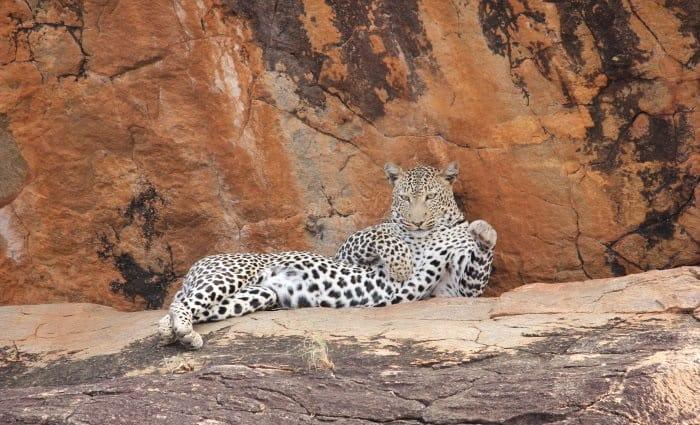 lazy leopard in Samburu
