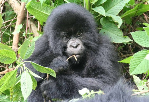 12-Day Best of Uganda & Rwanda