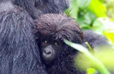 8-Day Uganda & Rwanda Ultimate Gorilla Expedition