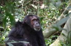 10-Day Uganda Chimpanzee and Gorilla Trekking Safari