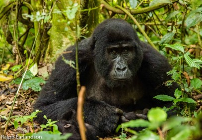 8-Day Uganda Ultimate Expedition: Chimps, Gorillas & Lions