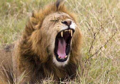 Lion Ngor