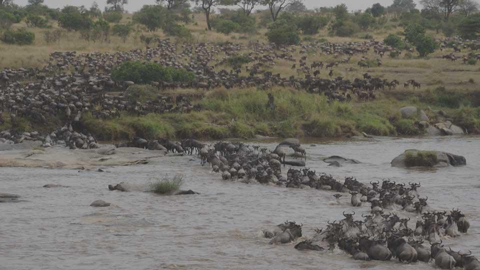 Africa Nature Photography And Safaris Mara River Crossing 1