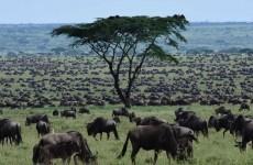 Wildebeest Calving Photographic Safari