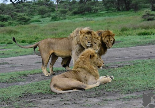 Africa Nature Photography And Safaris Photography Family Lion