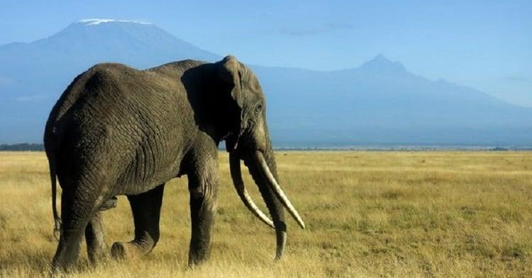 Amboseli The Back Drop Of Kilimanjaro