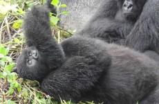 6-Day Gorilla & Chimpanzee Safari