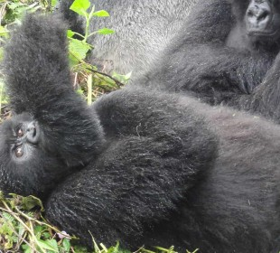 6-Day Gorilla & Chimpanzee Safari