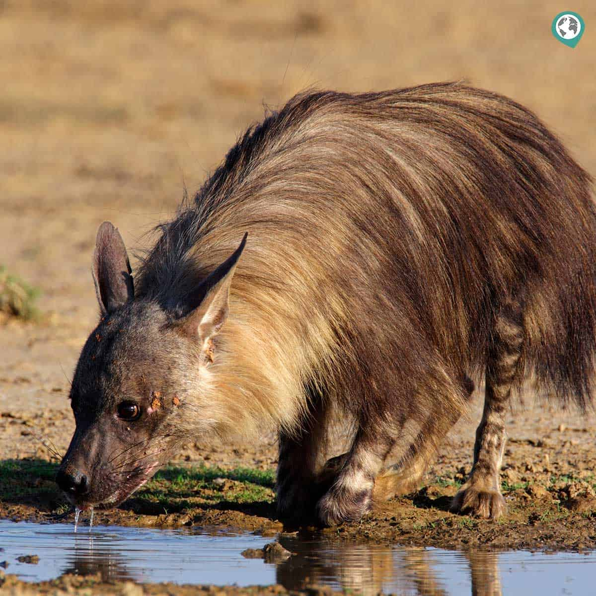 Safari Deal Brown Hyena