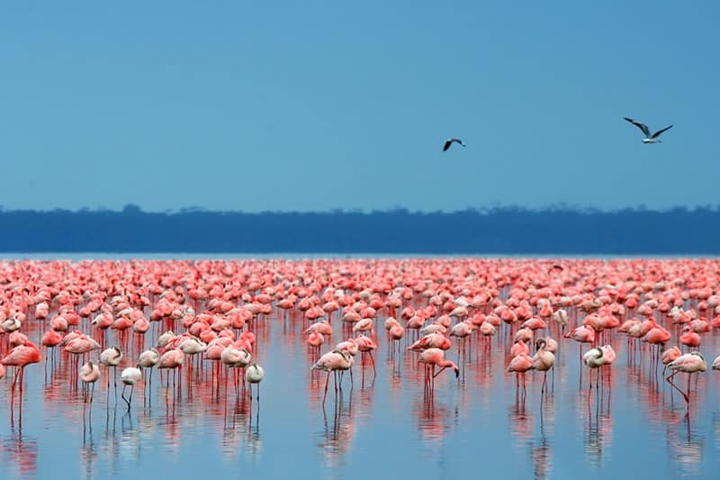 The Pink Lake Nakuru National Park