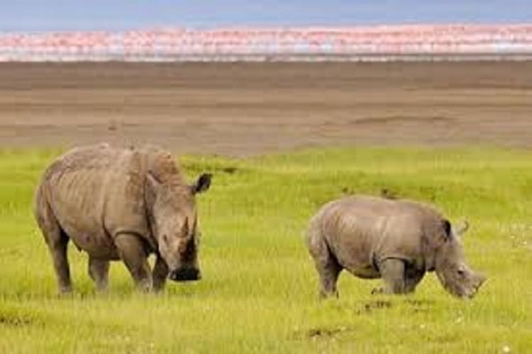 White Rhinocerous In Lake Nakuru National Park
