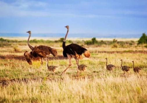 Africa Kenya Amboseli Ostrich Family Walking On Savanna