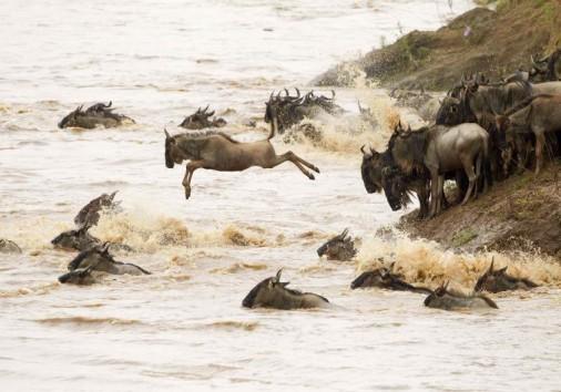 Africa Kenya Masai Mara Wildebeest River Crossing 4