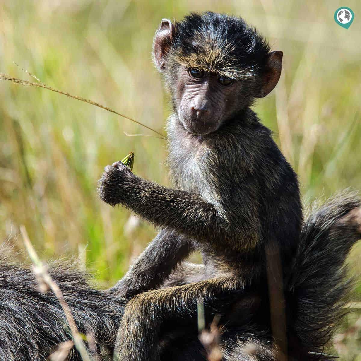 Oilve Baboons