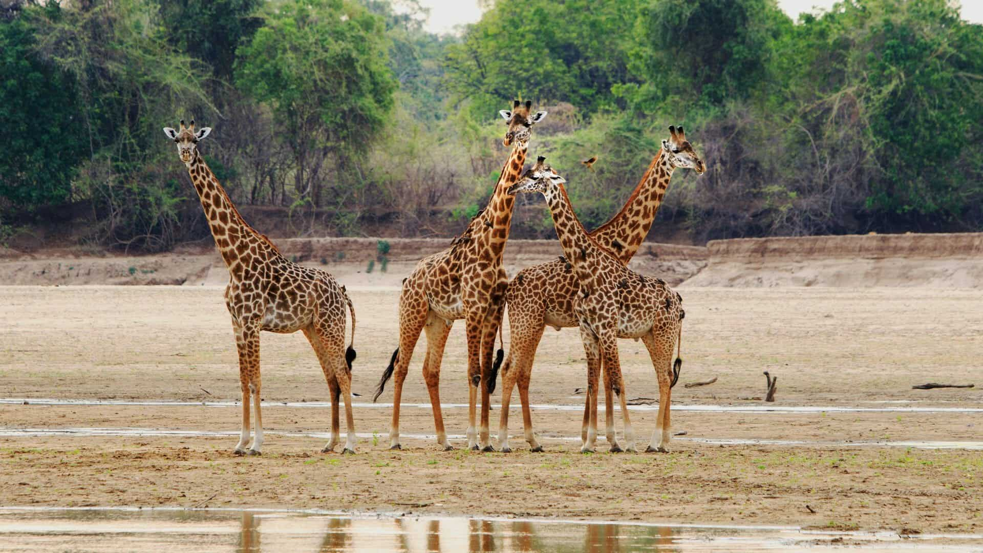 Giraffe Soith Luangwa National Par Zambia 1920x1080