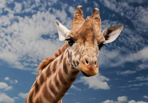 Giraffemanyara
