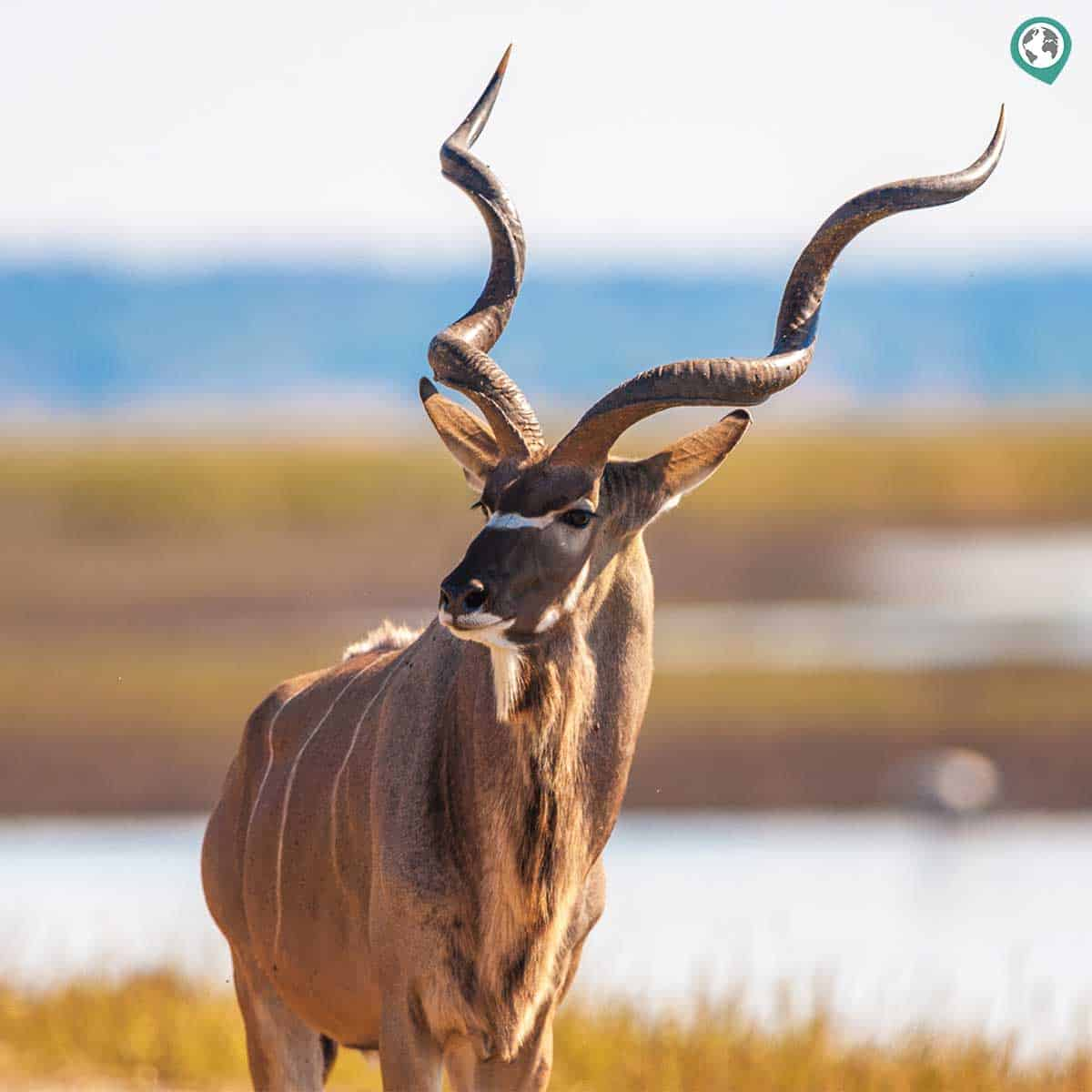 Greater and Lesser Kudu
