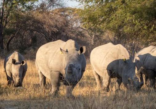 Matopos White Rhino Family