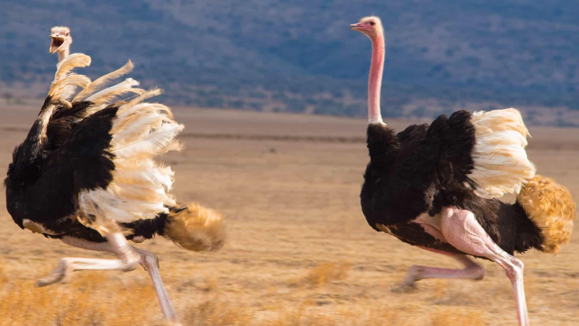 Ostritch In Serengeti