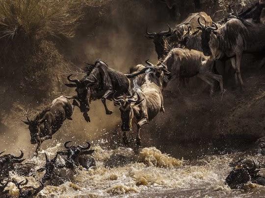 Wildebeests Jumping In The Mara River. Masai Mara, Kenya