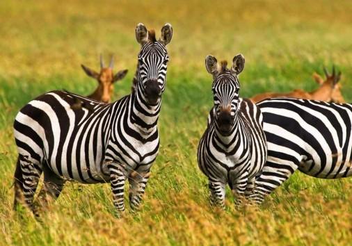Africa Zebras In Serengeti National Park