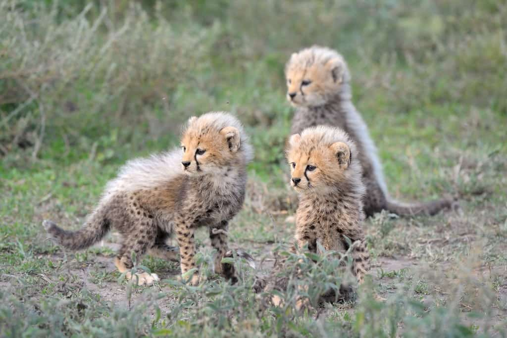 Cheetahs Cub
