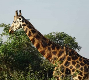 15-Day Discover Uganda Safari