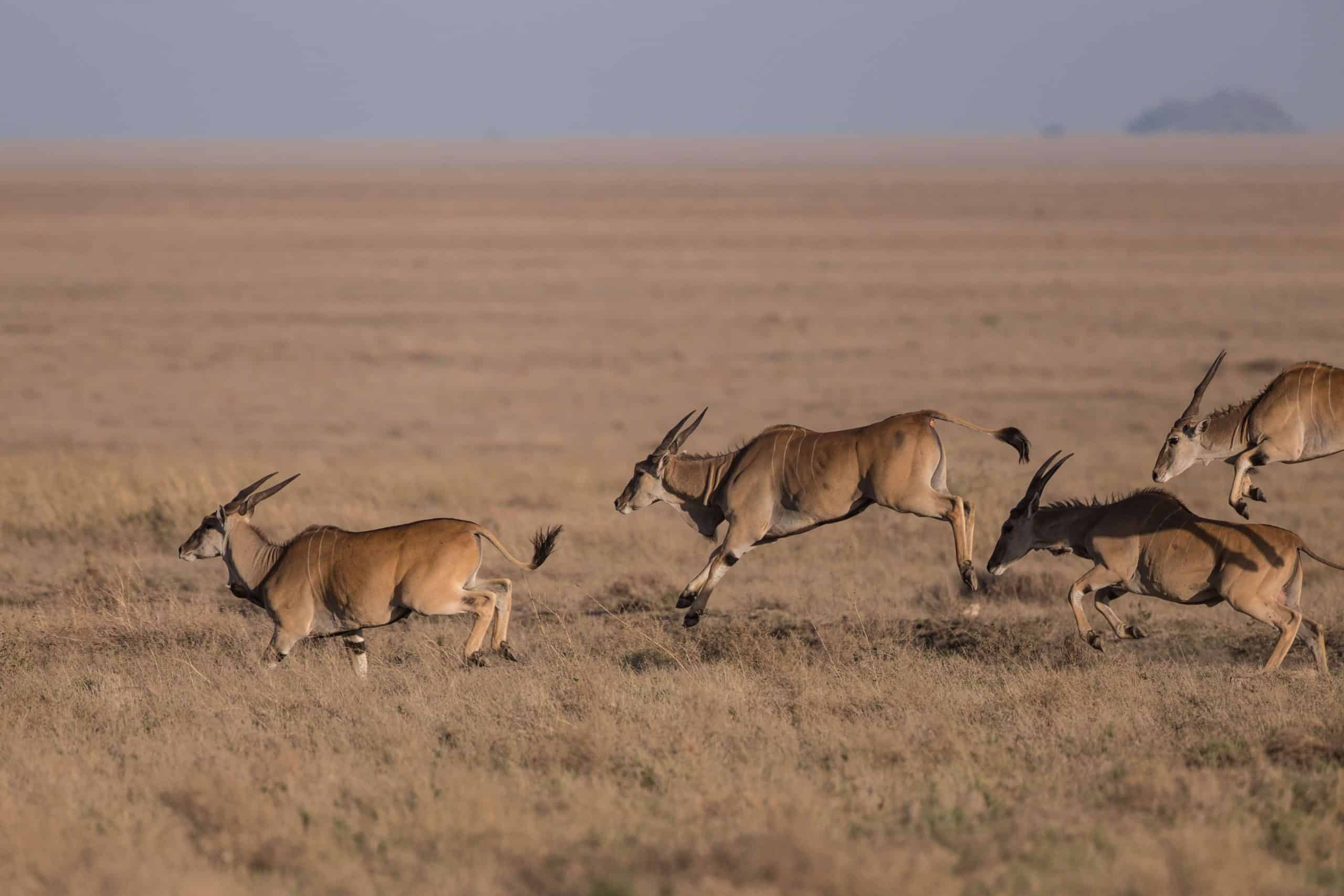 Eland Expect In Africa Safari (1)