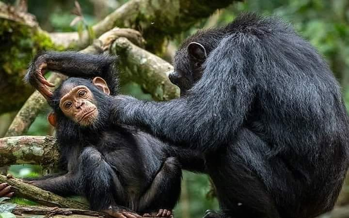 Female Chimp Cleaning The Young