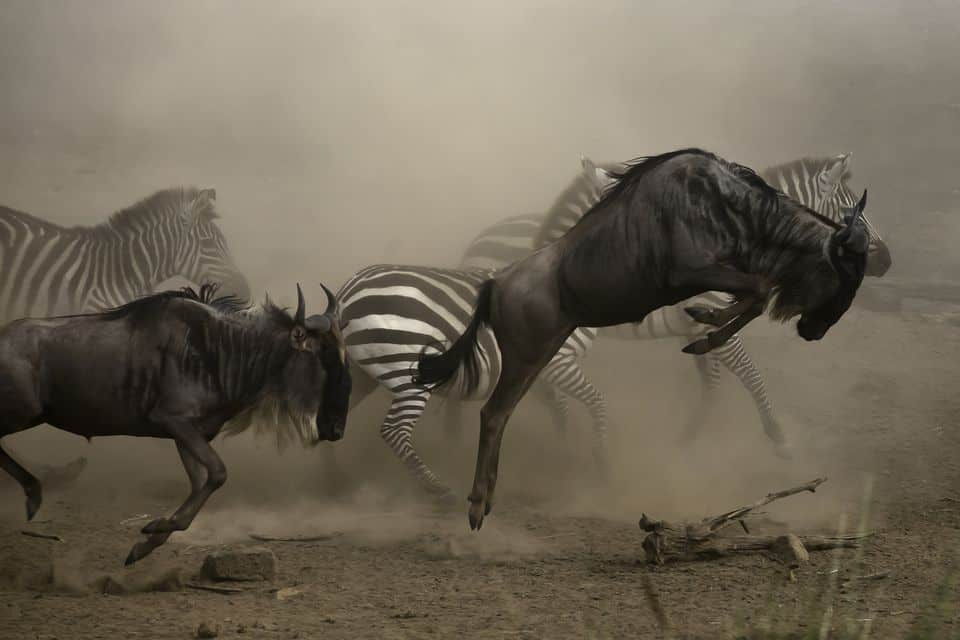 Follow The Wildebeest Great Migration