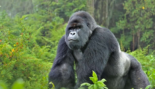 Gorilla Habituation Expereince 1