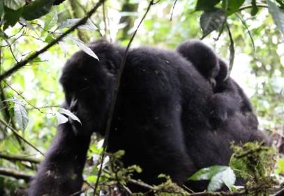 11-Day Uganda Primate Safari