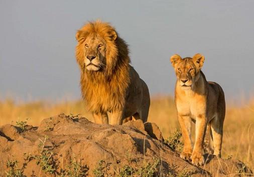 Lion in Serengeti Park