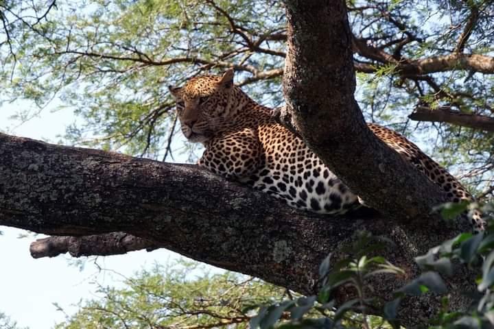 Leopard Cooling Off