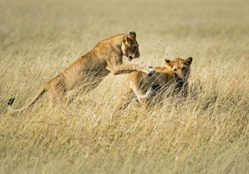 Lion Serengeti Expect In Africa Safari