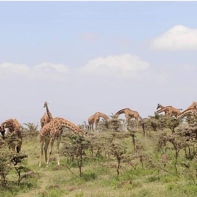 Malanja Giraffee