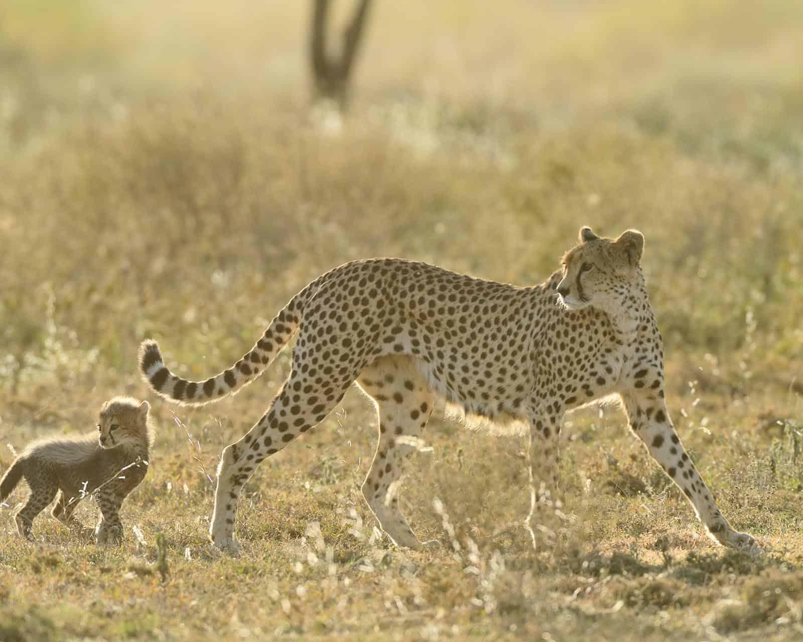 Ndutu Cheetah Copyright Martin Van Locken