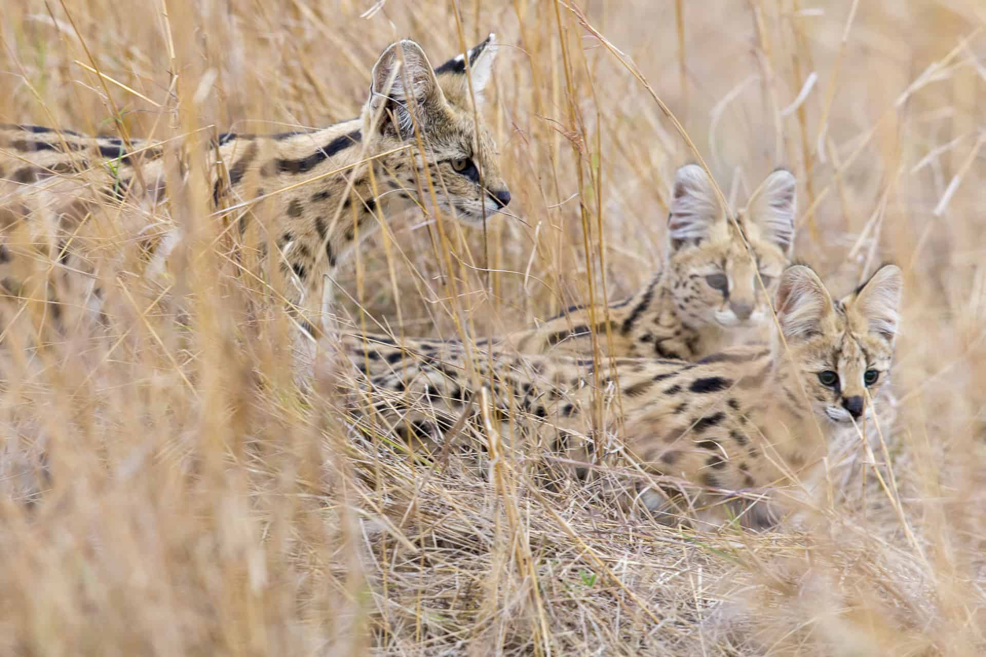 Serval With Kittens