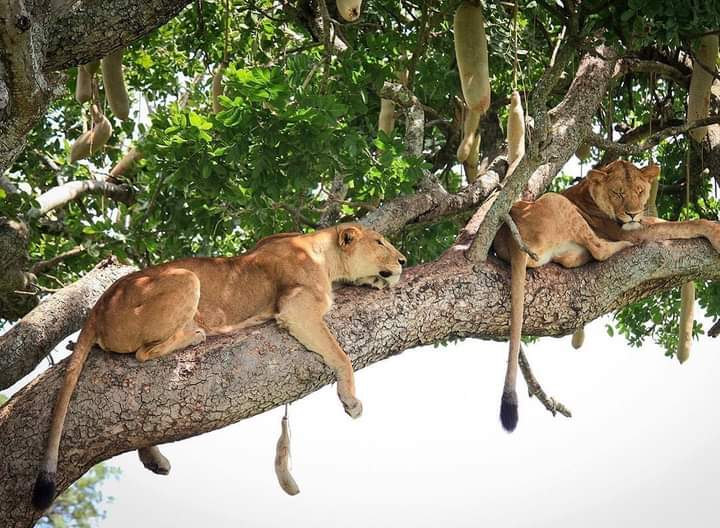 Tree Climbing Lions In Kidepo.