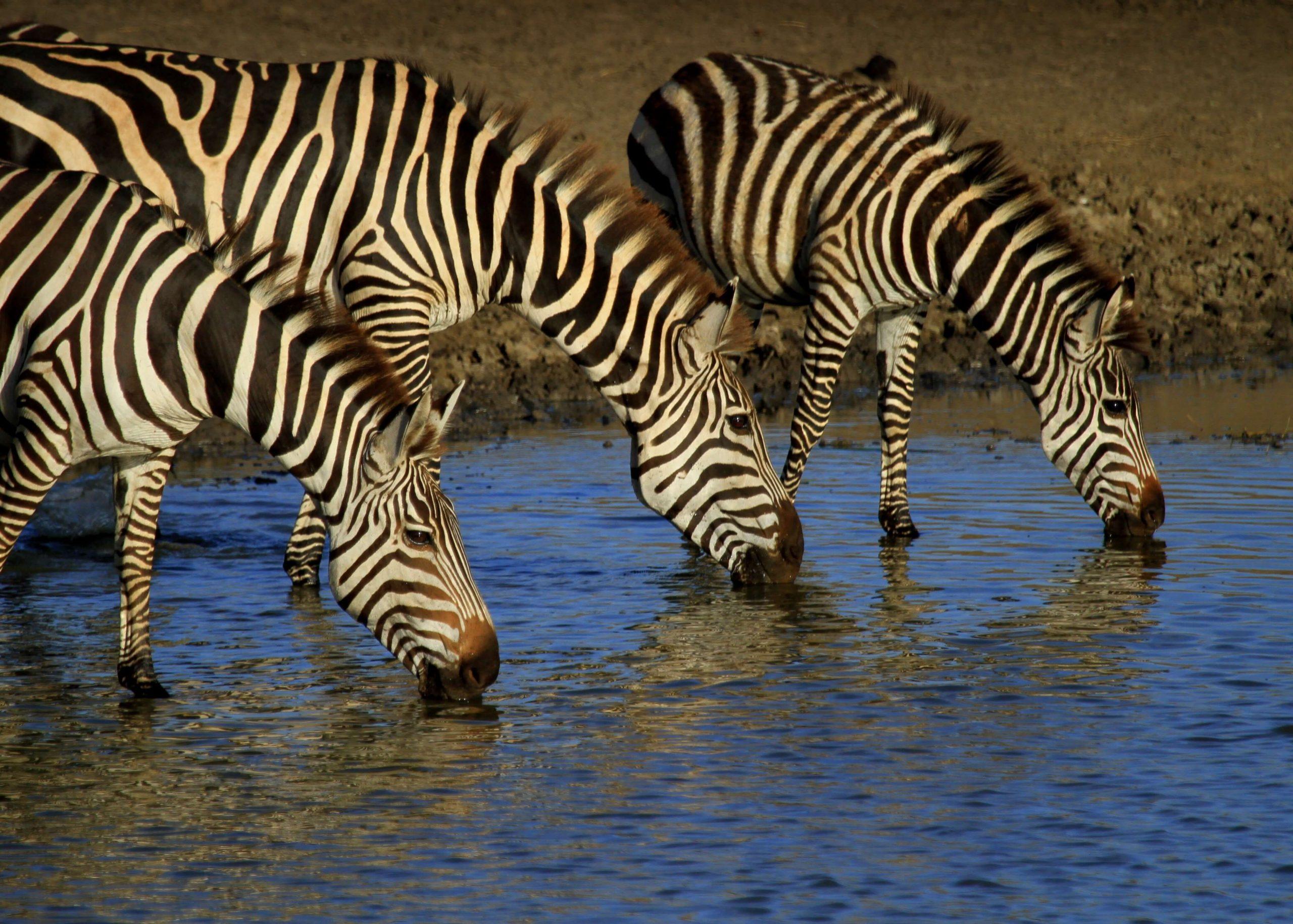 Zebra Expect In Africa Safari