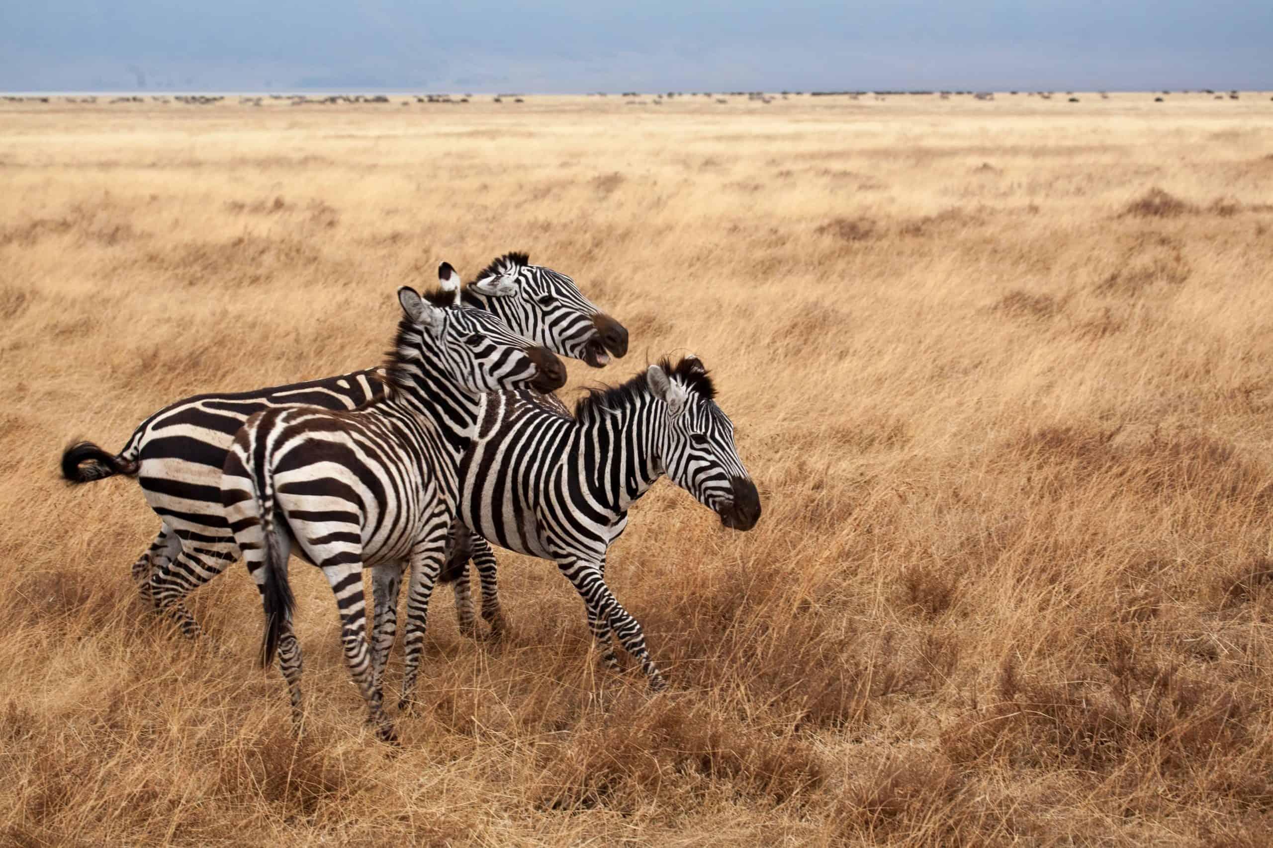 Zebra Expect In Africa Safaris