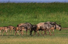 8-Day Wildebeest Calving & Migration