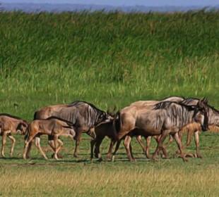 8-Day Wildebeest Calving & Migration