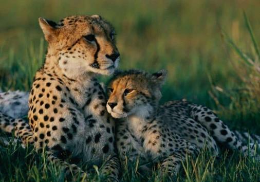 Cheetah Mother Cub