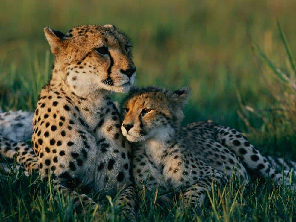 Cheetah Mother Cub 13420 990x742