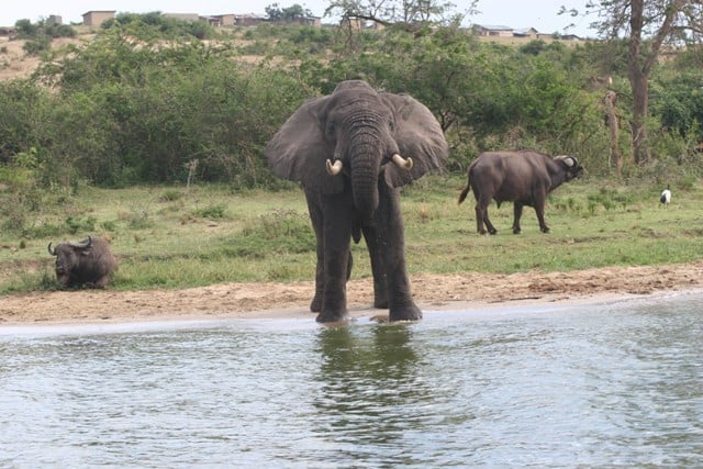 Elephant Kazinga Channel