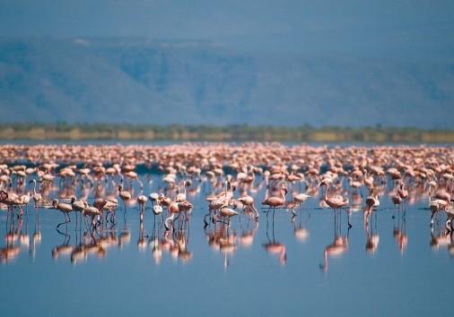 Flamingo Manyara