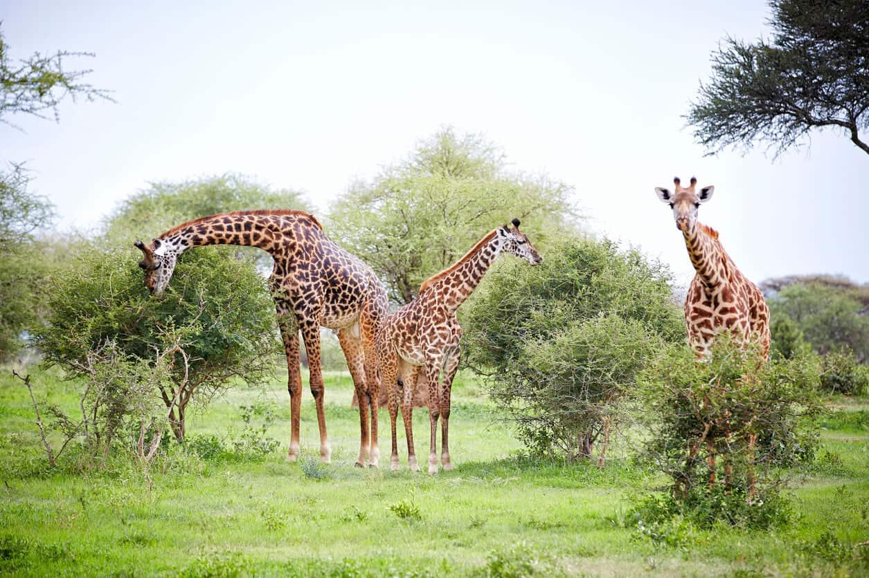 Giraffe In Tarangire Tanzania