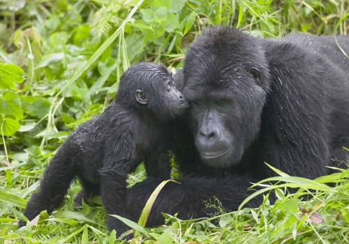 Gorilla Trekking Uganda Adult Infant